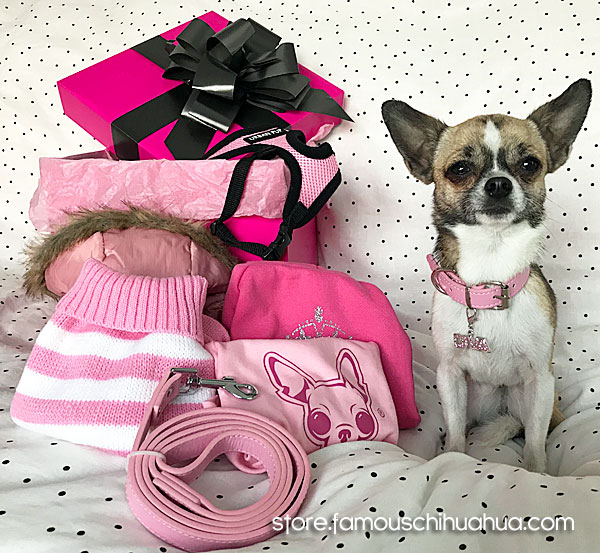 chihuahua with dog clothes