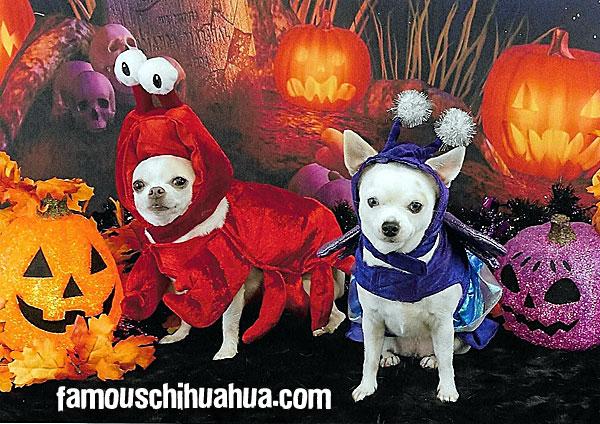 cute halloween chihuahuas