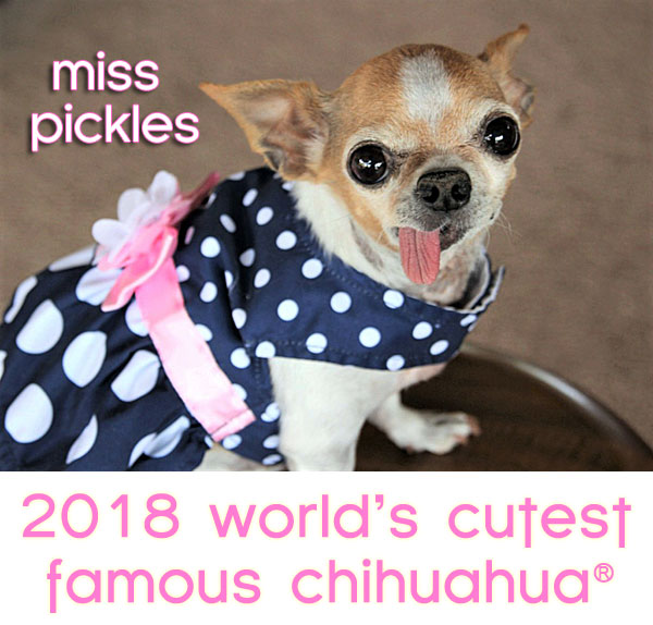 world's cutest famous chihuahua