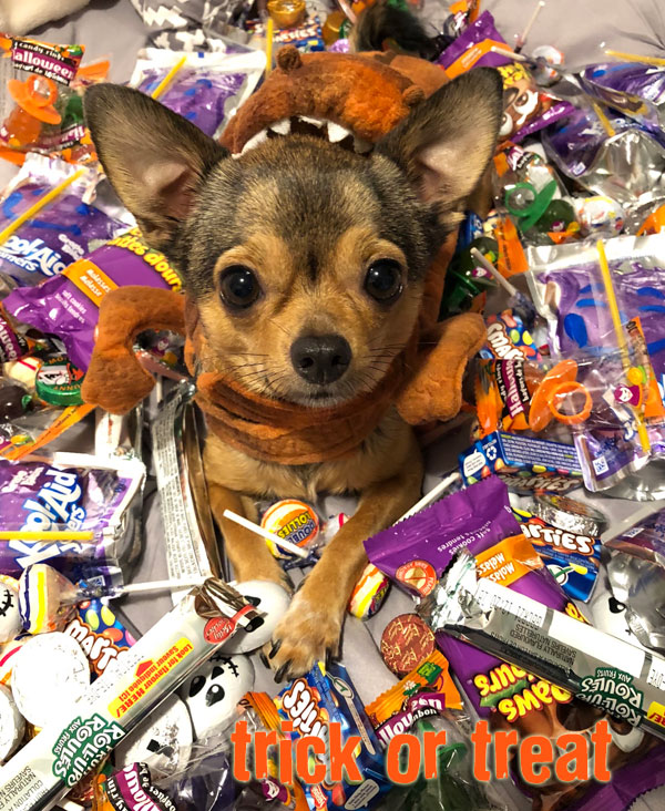 trick or treat chihuahua
