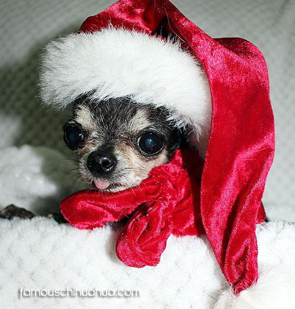 cute chihuahua in santa hat