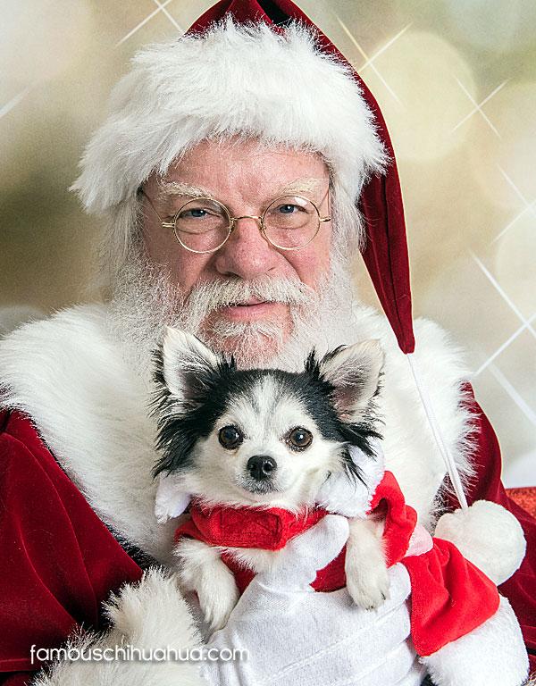 chihuahua with santa