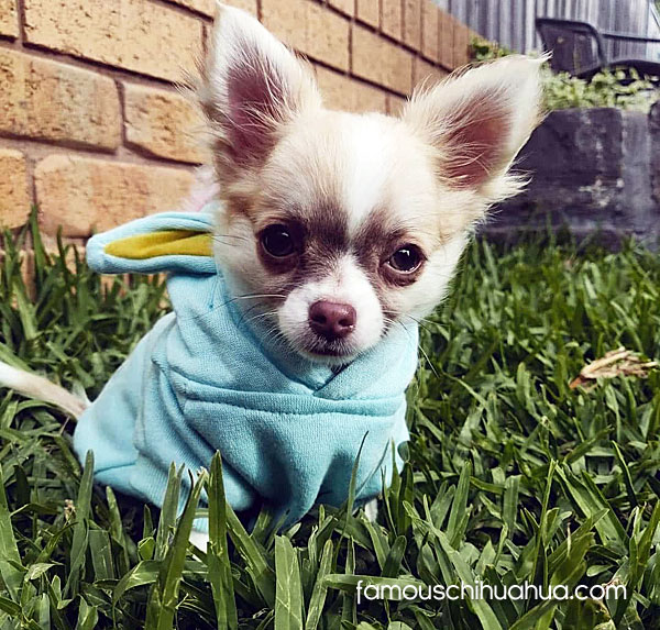 tiny long haired chihuahua puppy