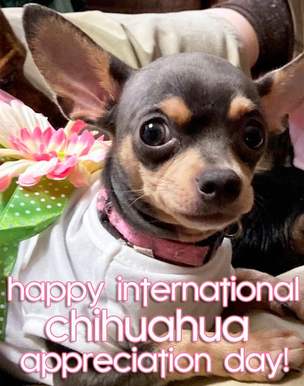 winner chihuahua appreciation day contest