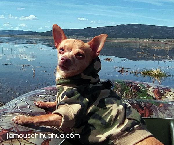 deerhead chihuahua