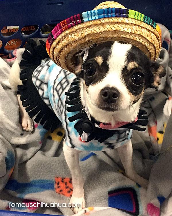applehead chihuahua in sombrero