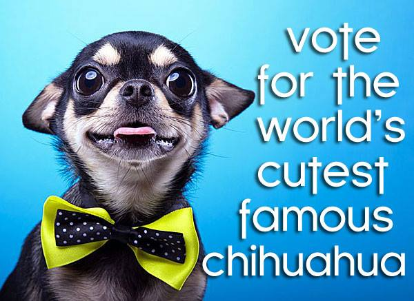 vote worlds cutest famous chihuahua