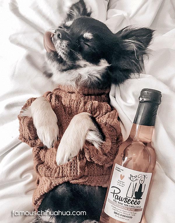 alcoholic chihuahua