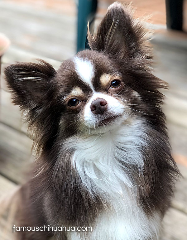 long haired chihuhua dog
