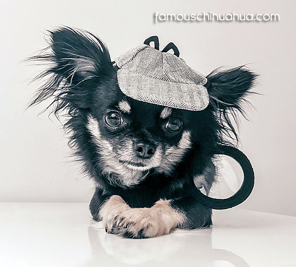 cute long haired chihuahua puppy