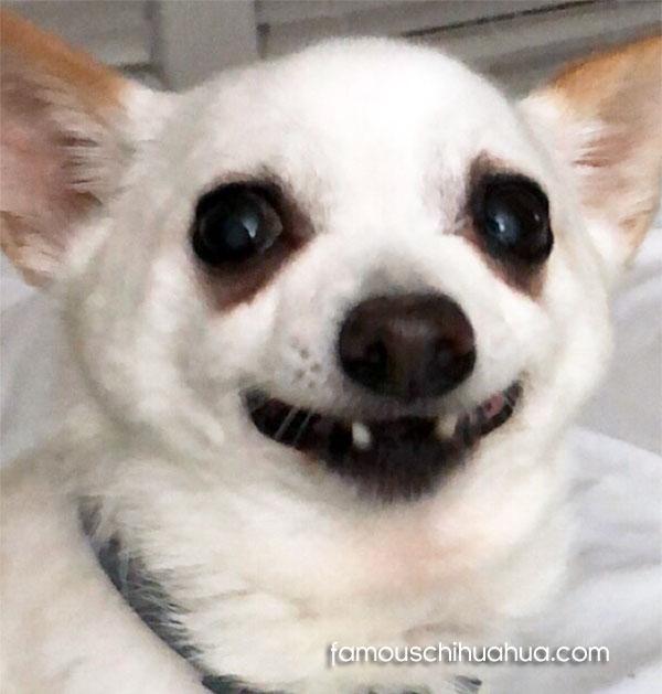 chihuahua no teeth
