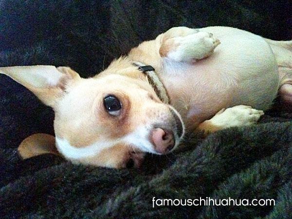tanned applehead chihuahua
