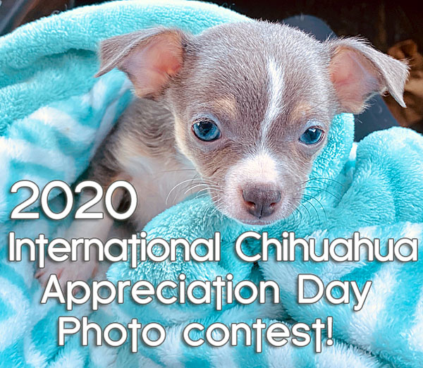 2020 international chihuahua appreciation day photo contest
