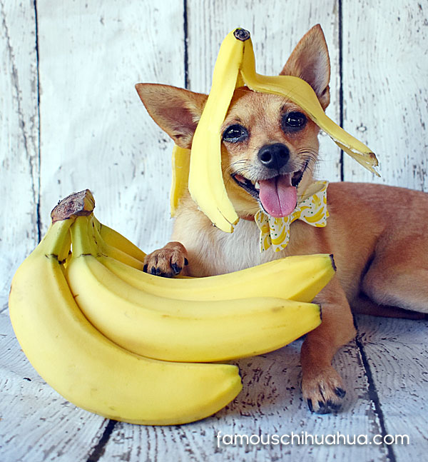 chihuahua with banana on head