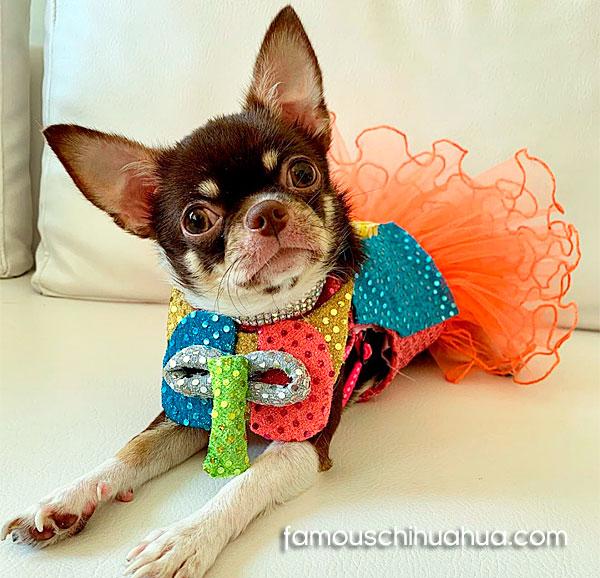 chihuahua carnival costume