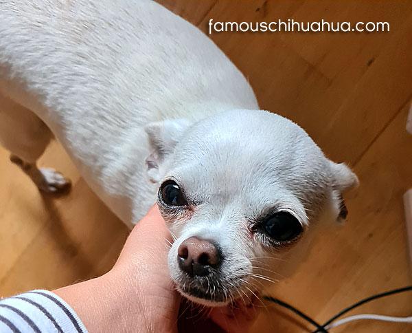 white applehead chihuahua