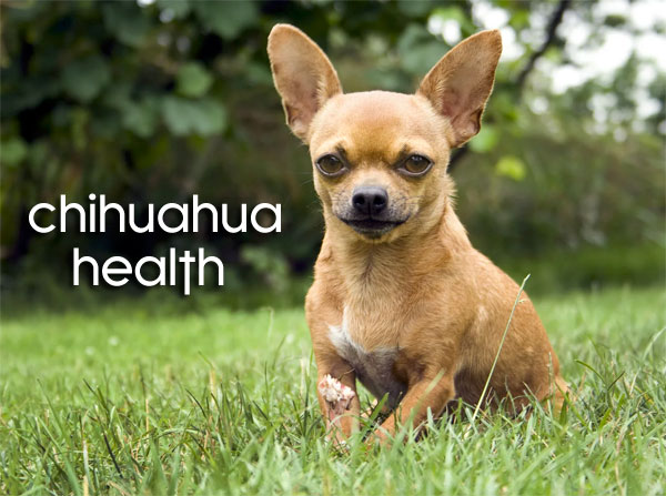 health indications in Chihuahuas you should pay attention to