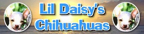 Lil Daisy's Chihuahuas